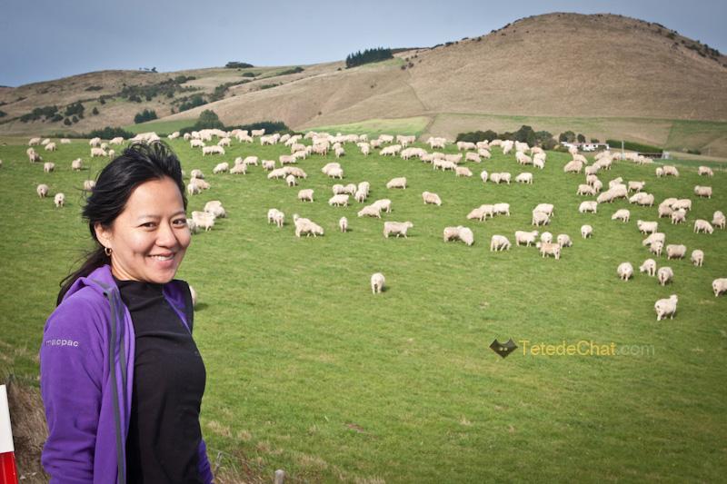 hihi_mouton_nouvelle_zelande