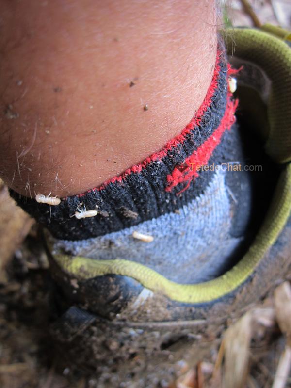 termite_pied_espiritu_santo