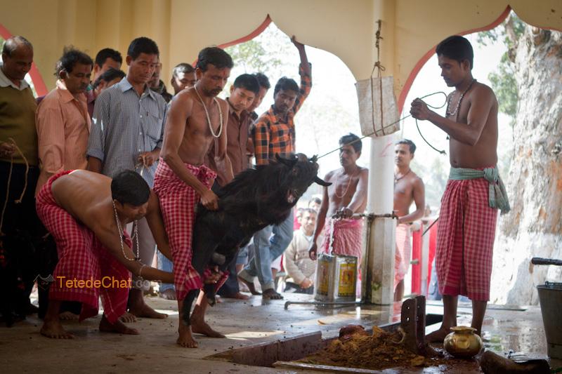 Udaipur_Matabari_bouc_sacrifice