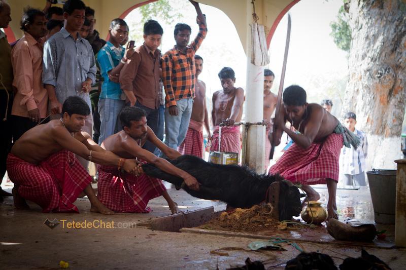 Udaipur_Matabari_bouc_sacrifice_4