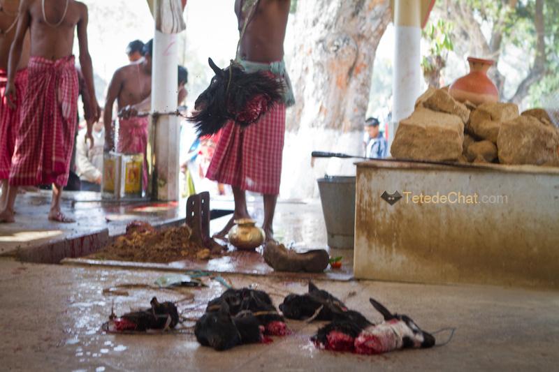 Udaipur_Matabari_bouc_sacrifice_8