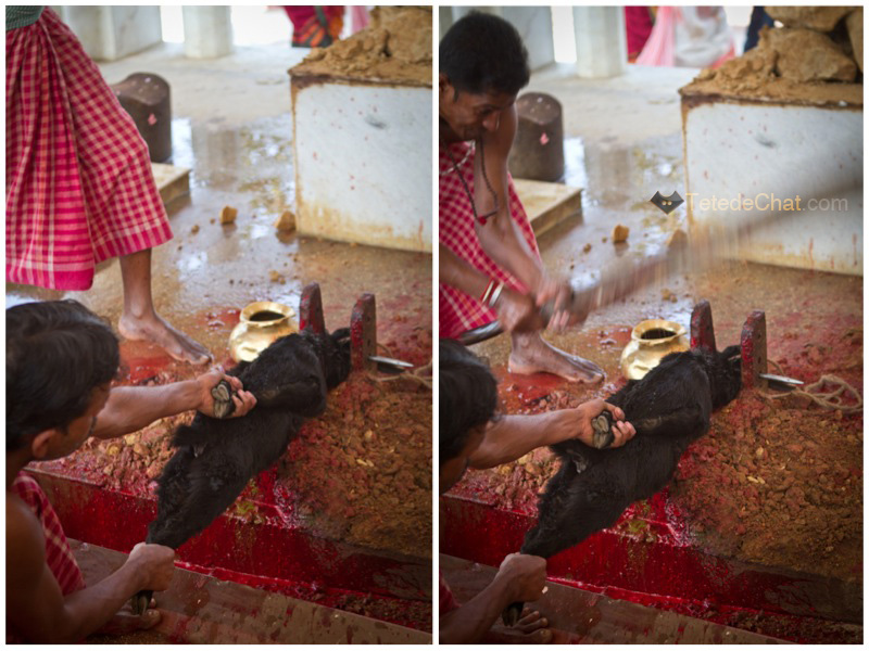 Udaipur_Matabari_chevre_sacrifice