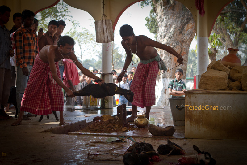 Udaipur_Matabari_chevre_sacrifice_10