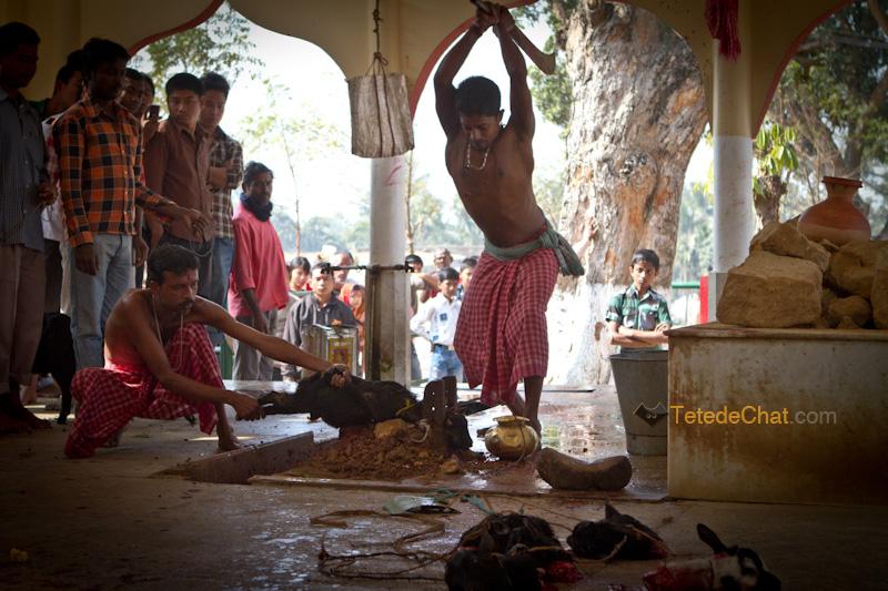 Udaipur_Matabari_chevre_sacrifice_11