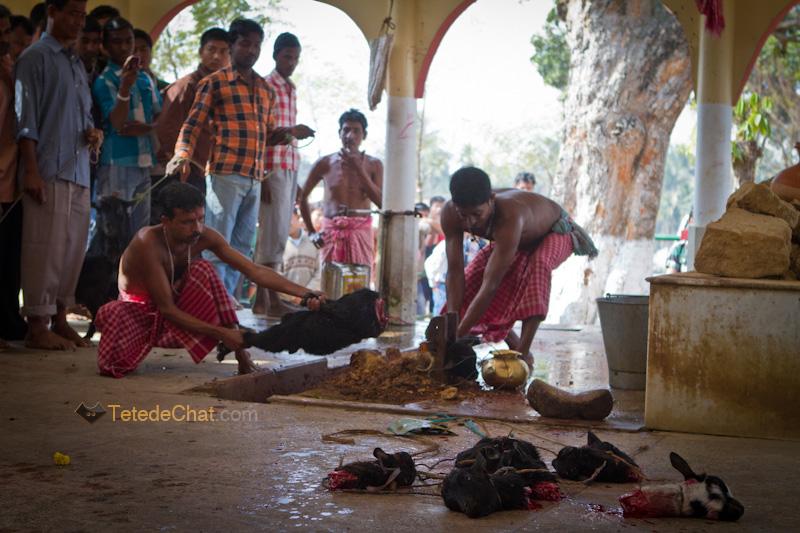 Udaipur_Matabari_chevre_sacrifice_12
