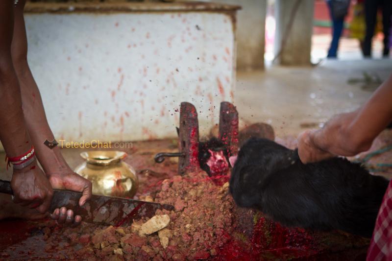 Udaipur_Matabari_chevre_sacrifice_15