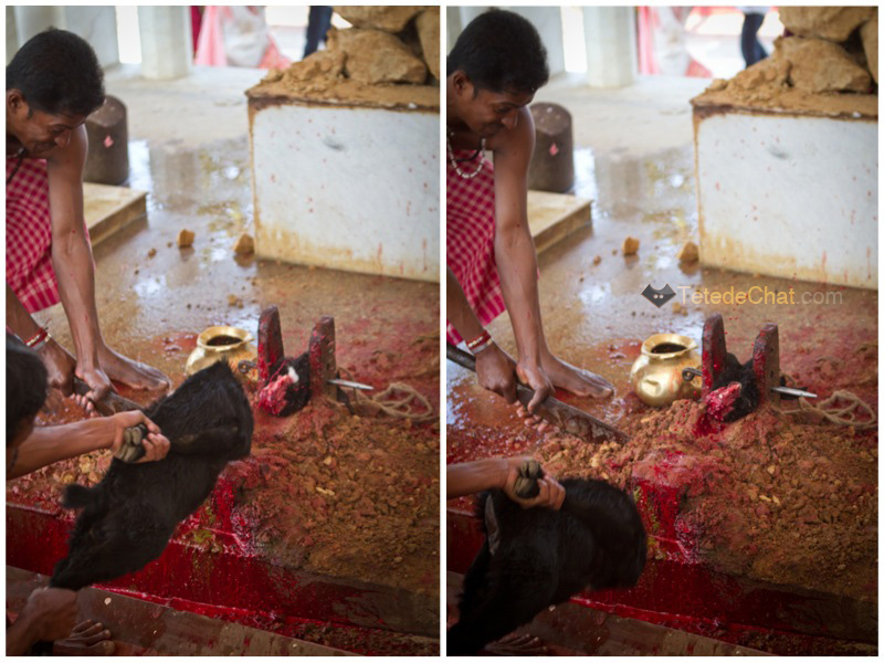Udaipur_Matabari_chevre_sacrifice_2