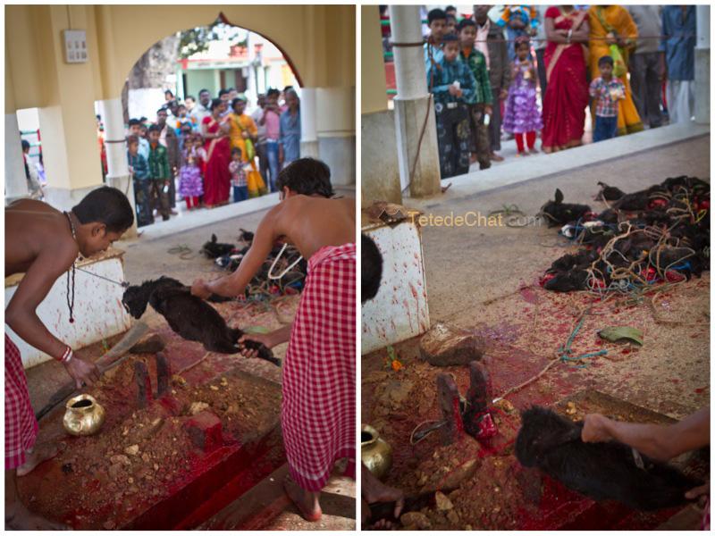 Udaipur_Matabari_chevre_sacrifice_4