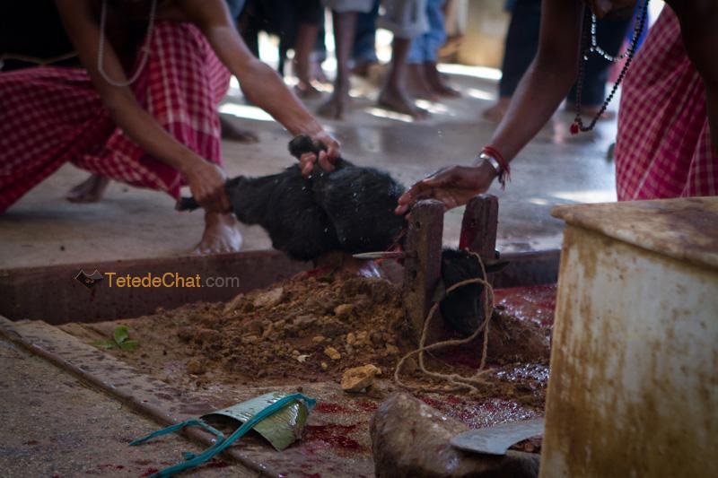 Udaipur_Matabari_chevre_sacrifice_9