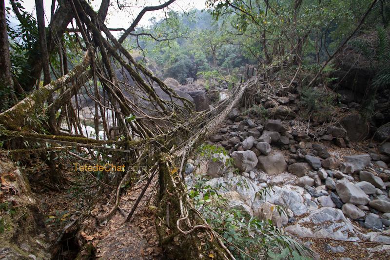 nongriat_pont_racine_arbre