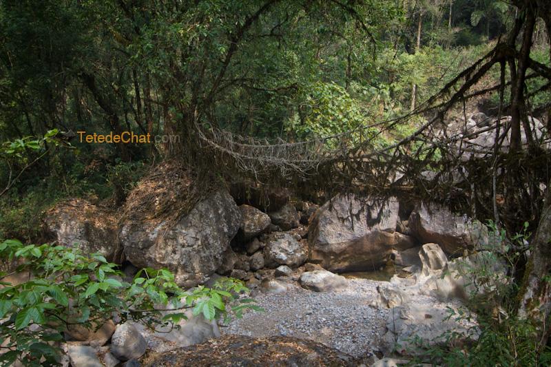 nongriat_pont_racine_arbre_17