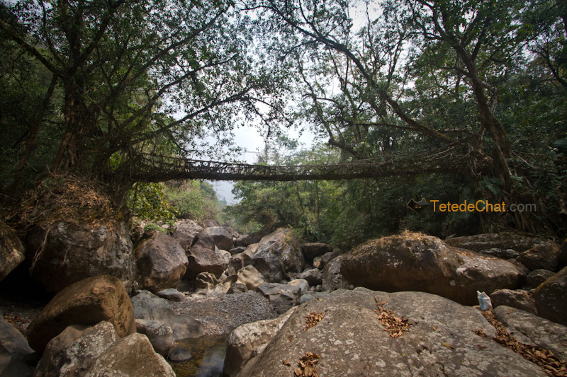 nongriat_pont_racine_arbre_19
