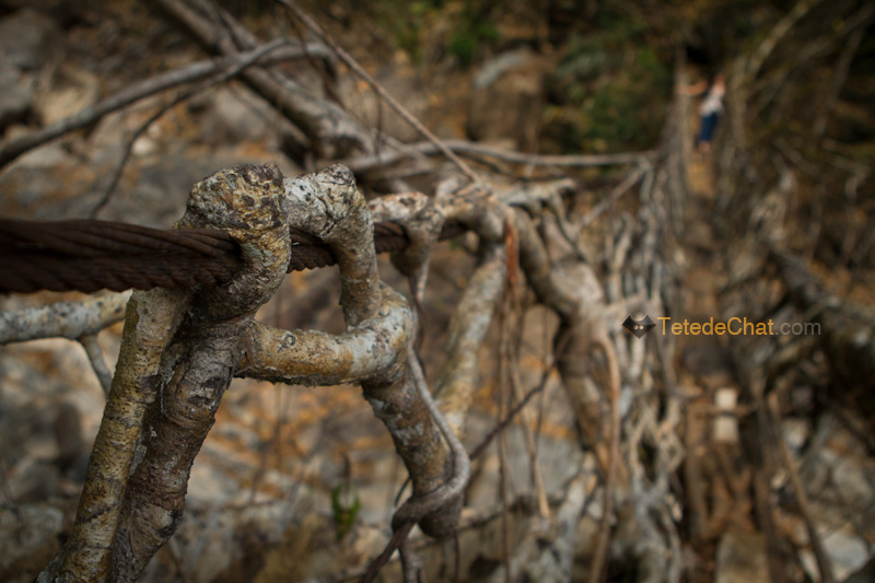 nongriat_pont_racine_arbre_8