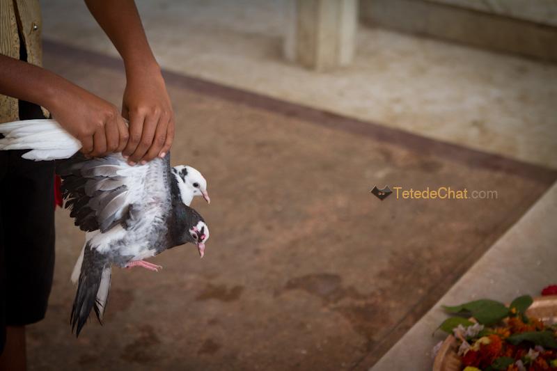 pigeons_sacrifice_tripura_sundari_temple_9