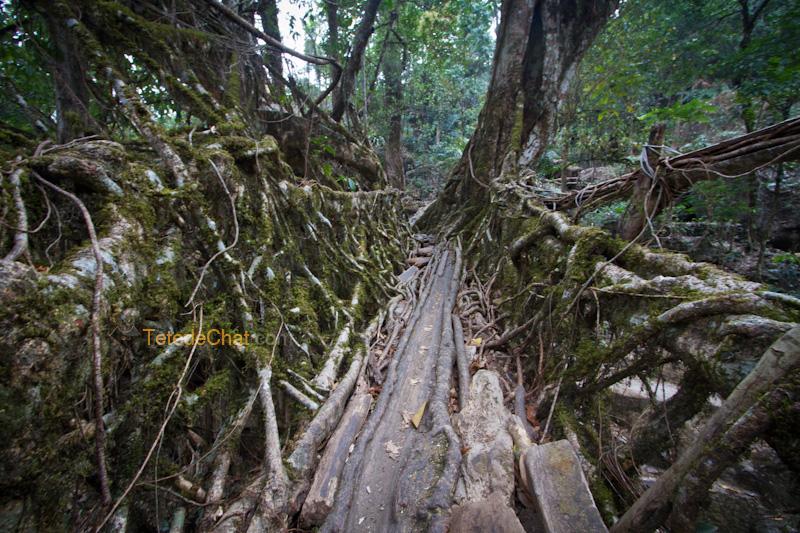 pont_racine_arbre_nongriat_4