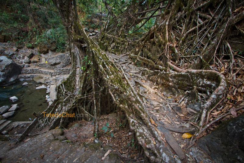 pont_racine_arbre_nongriat_7