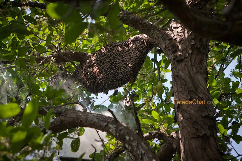essaim_abeilles_sundarbans_bangladesh_3