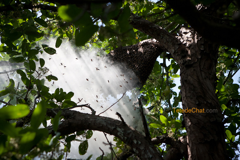 essaim_abeilles_sundarbans_bangladesh_fumee