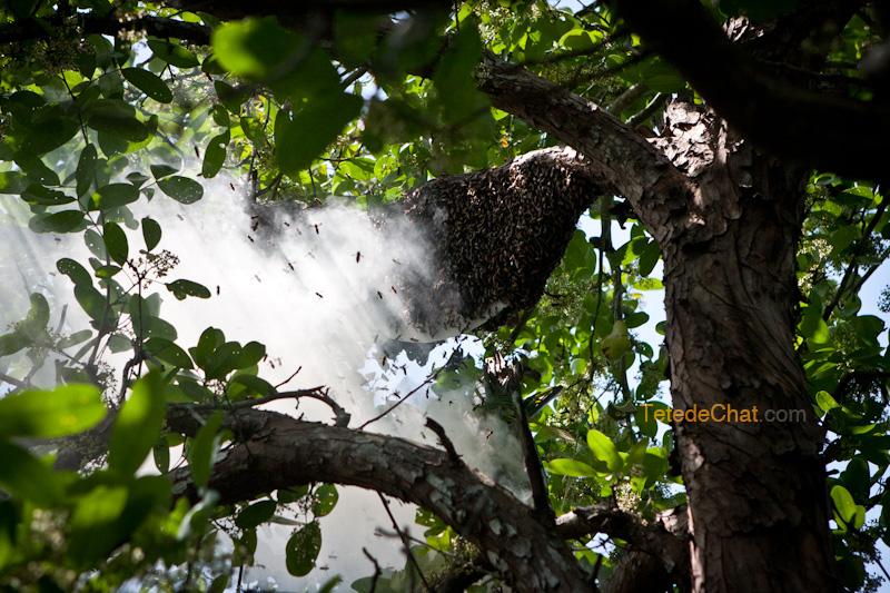 essaim_abeilles_sundarbans_bangladesh_fumee_2