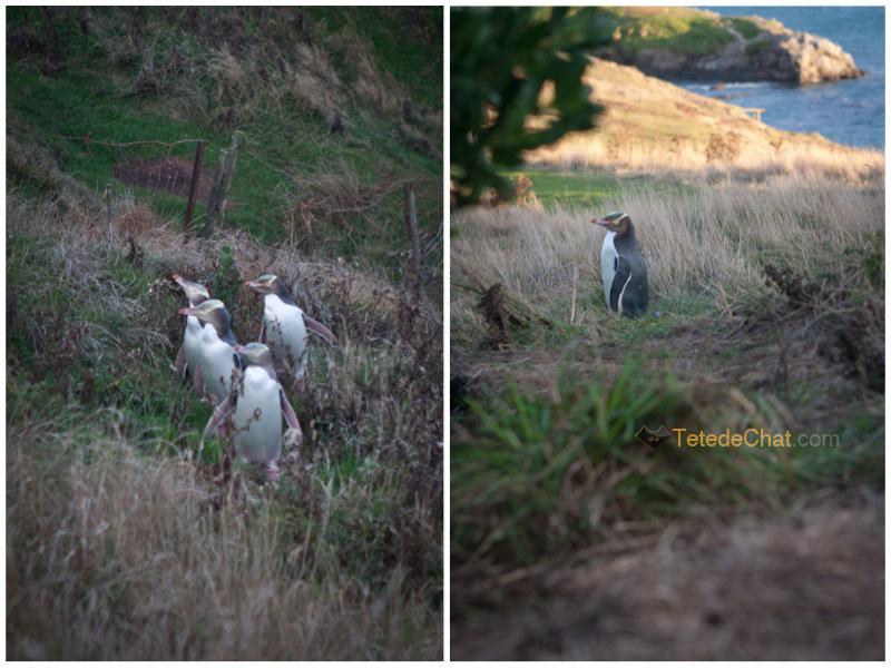 moeraki_boulders_pingouins