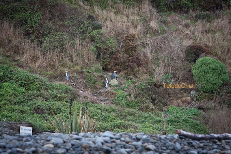 pingouins_baie_roaring_nugget
