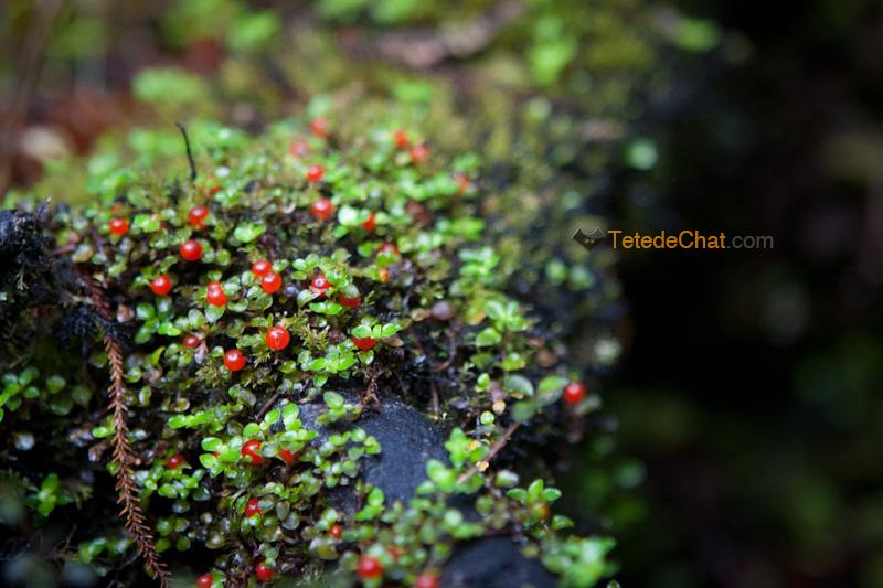 plante_rouge_boules_zelande