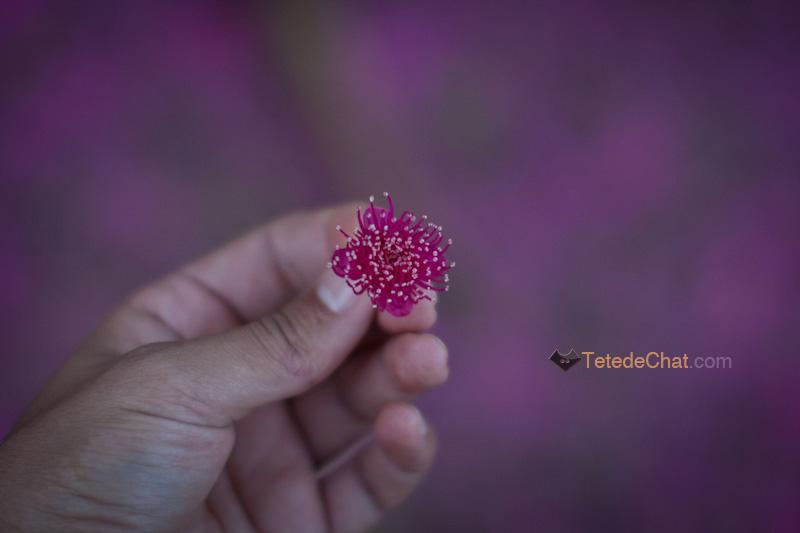 fleur_arbre_espiritu_santo