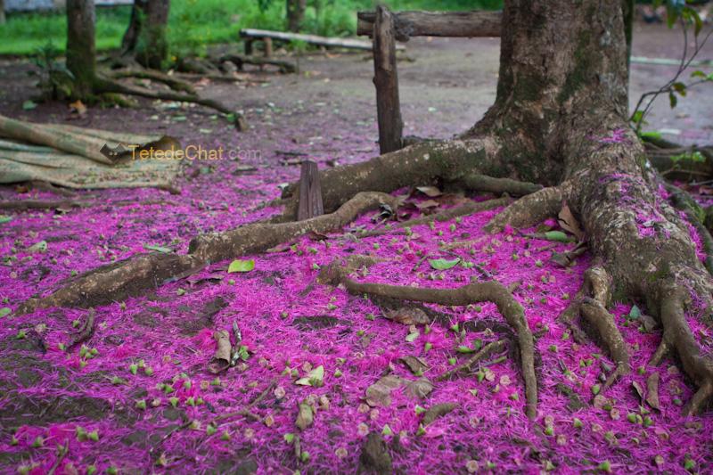 fleurs_arbre_espiritu_santo