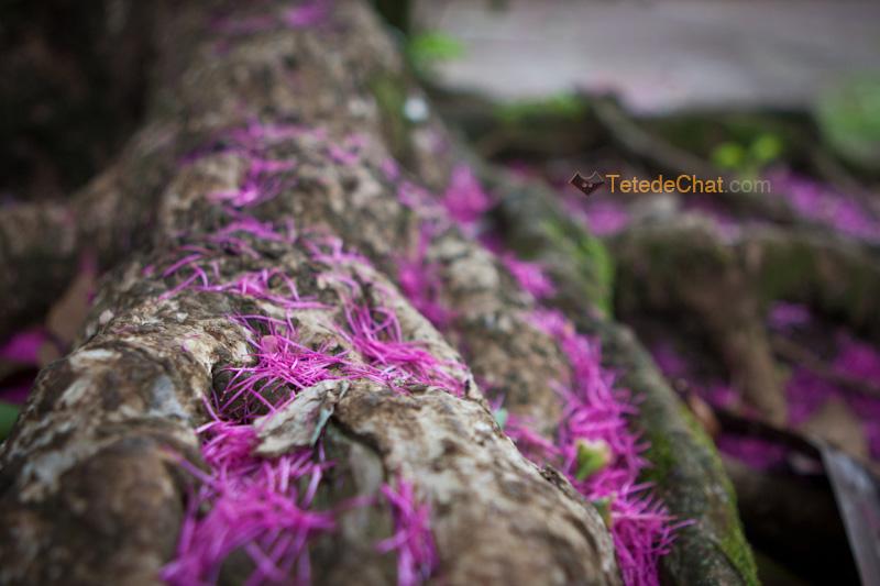 fleurs_arbre_espiritu_santo_pourpre
