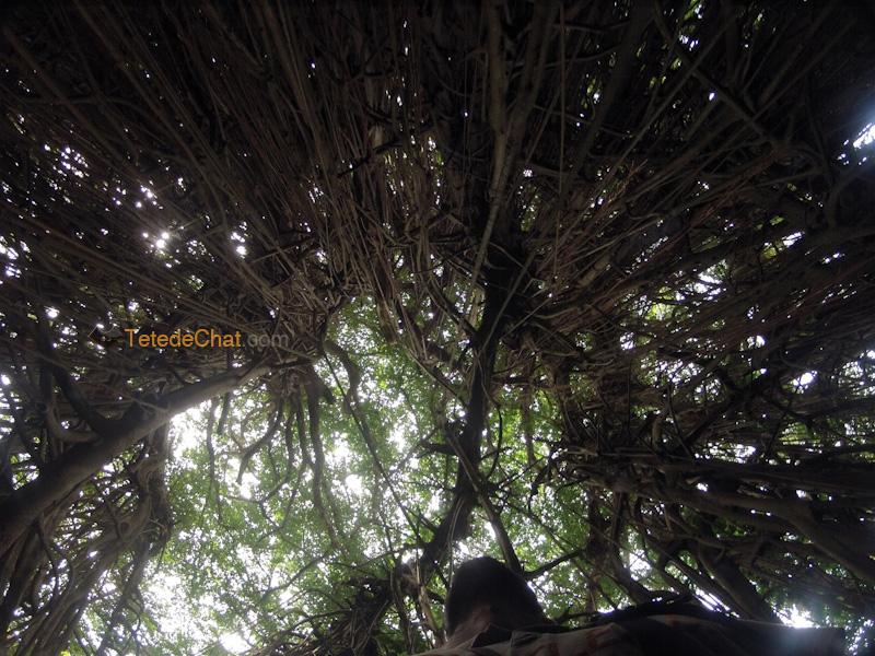 moi_plus_grand_arbre_banian_du_monde_tanna