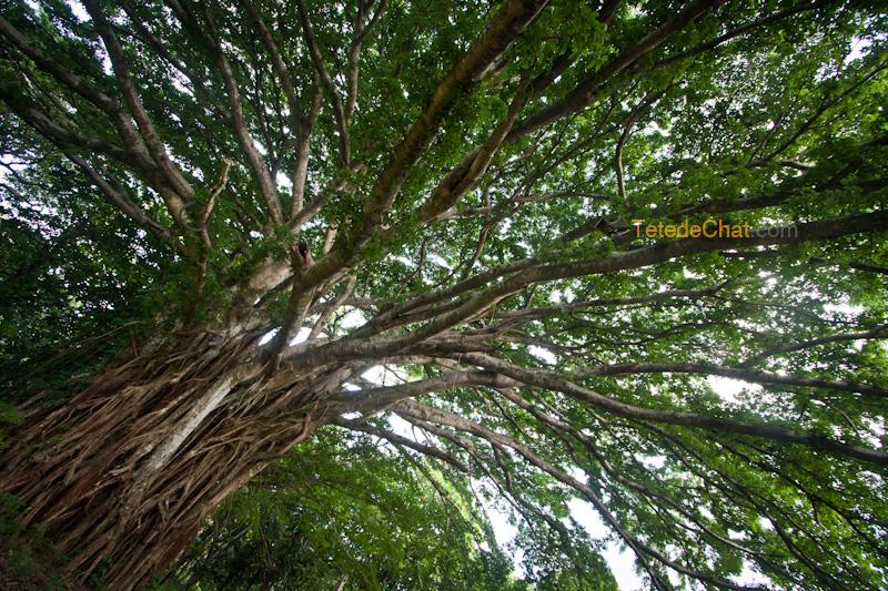 plus_grand_arbre_banian_du_monde_tanna