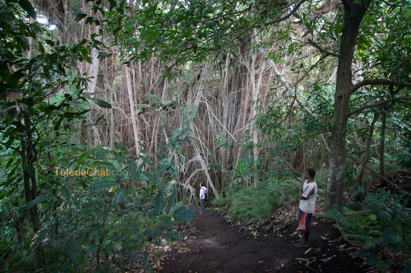 plus_grand_arbre_banian_du_monde_tanna_2