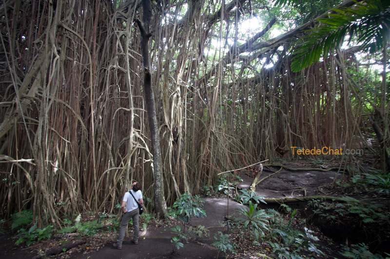 plus_grand_arbre_banian_du_monde_tanna_5