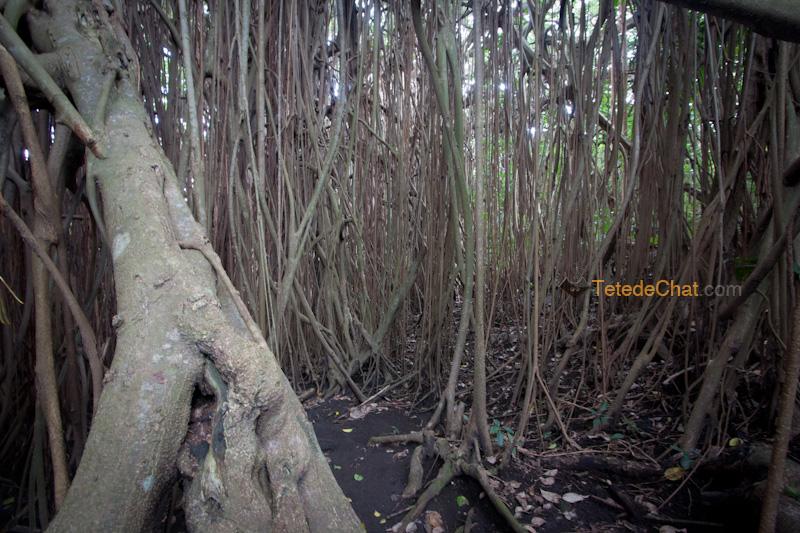 plus_grand_arbre_banian_du_monde_tanna_6