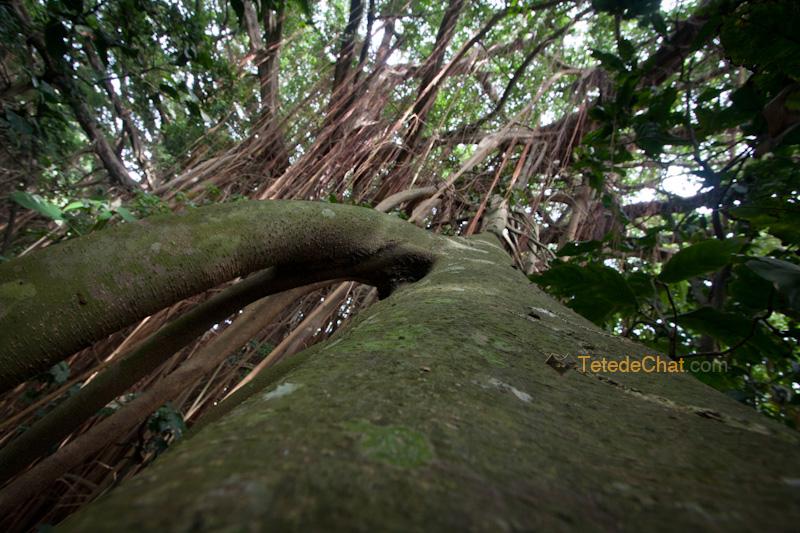 plus_grand_arbre_banian_du_monde_tanna_7