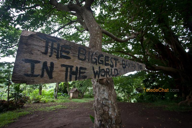plus_grand_arbre_banian_du_monde_tanna_panneau