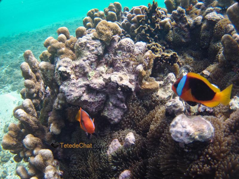 poissons_clown_plage_blanche_tanna_3