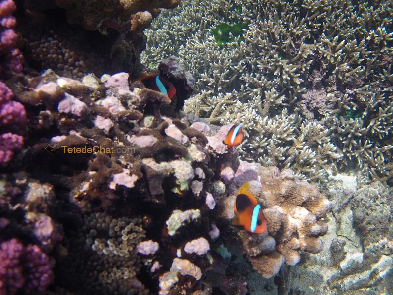 poissons_clown_white_beach_tanna_3