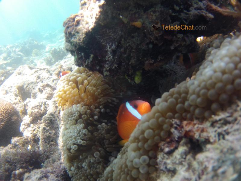 coraux_mamanuca_poisson_clown_5