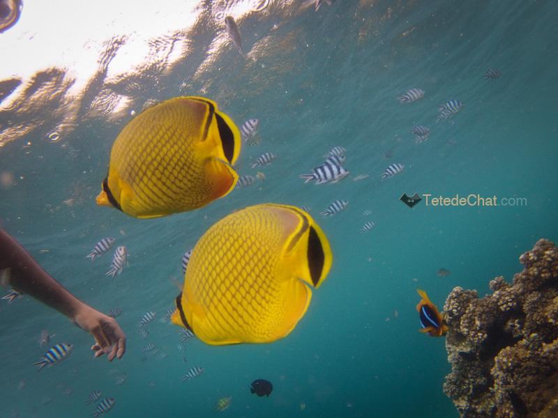 savusavu_poissons_jaune