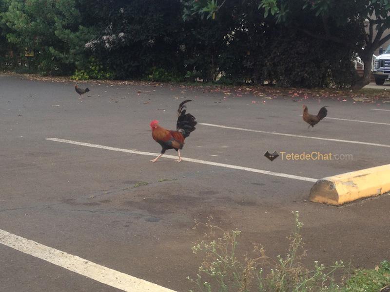 coq_poule_parking_kauai