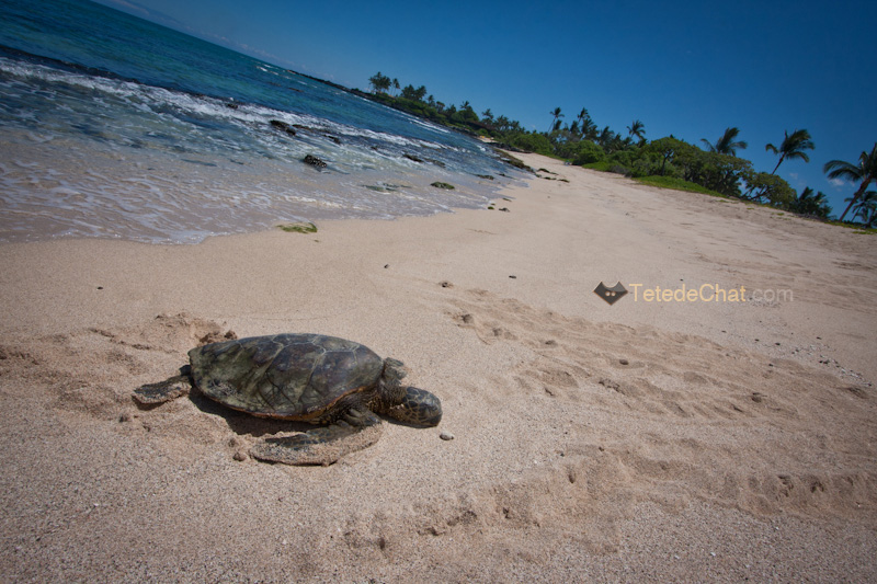 volcanique_plage_grande_ile_hawai_tortue