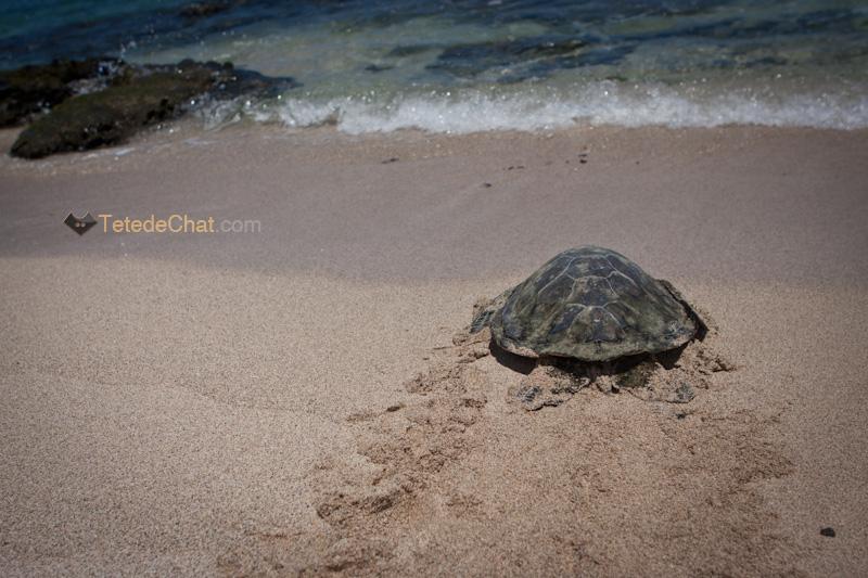 volcanique_plage_grande_ile_hawai_tortue_3
