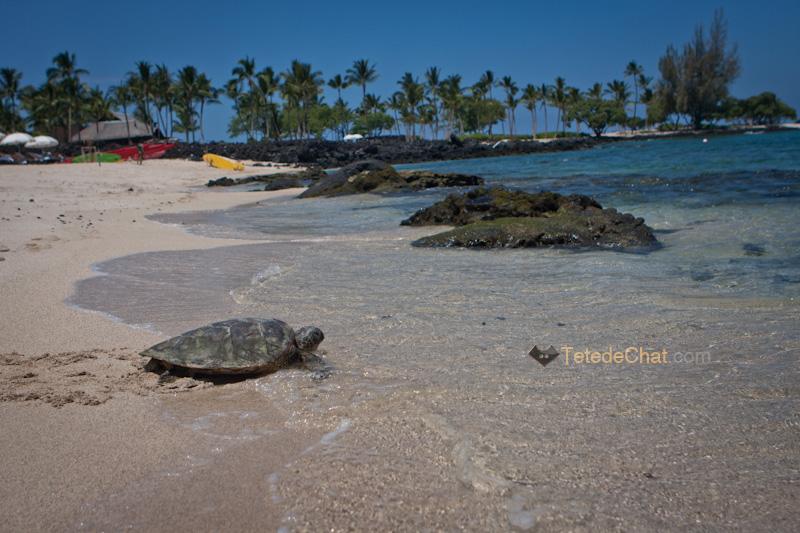 volcanique_plage_grande_ile_hawai_tortue_4