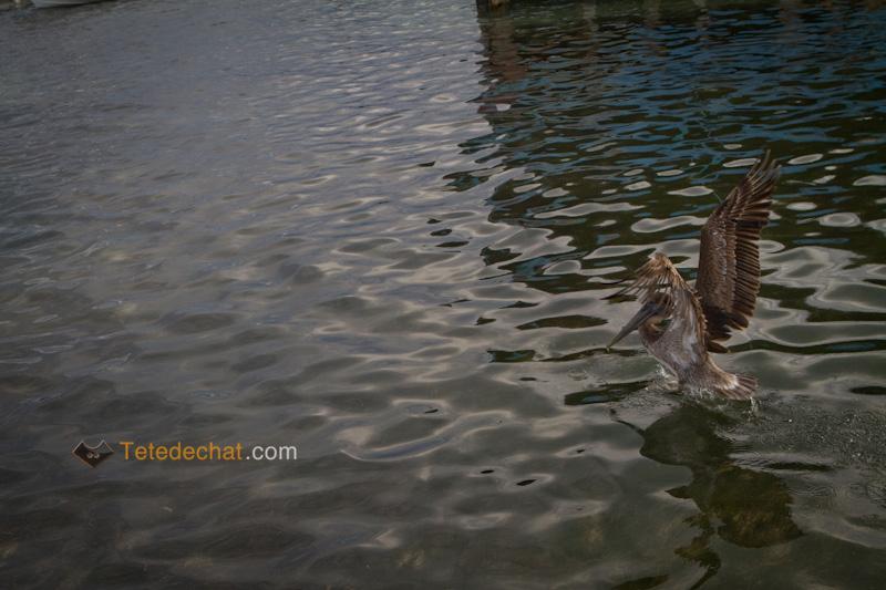 caye_caulker_pelican_atterissage