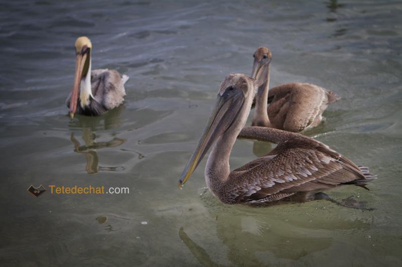caye_caulker_pelicans_3