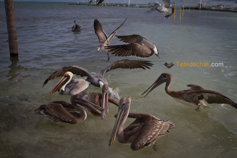 caye_caulker_pelicans_4