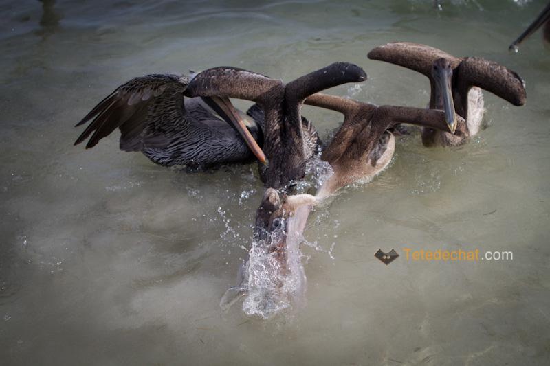 caye_caulker_pelicans_5