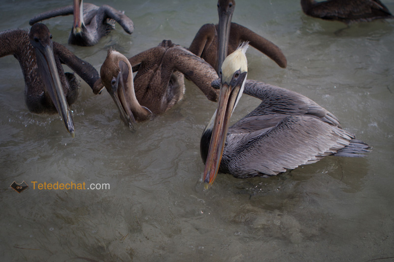 caye_caulker_pelicans_6