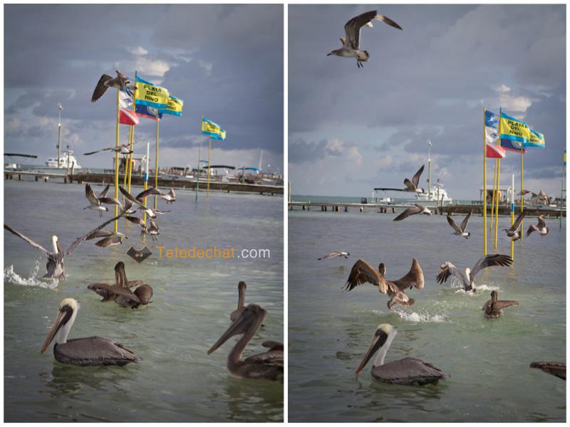 caye_caulker_pelicans_mouettes